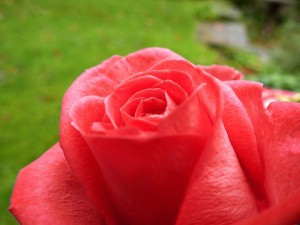 Red rose with delicate petals, symbol of spring